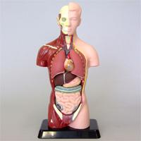 人体模型 27cm 人体モデル 全身標本 小学生 中学生 理科 科学 教材 体の仕組み 理科教材 サイエンストイ おもちゃ