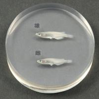 メダカの雌雄標本 メダカ 標本 理科 観察 実験