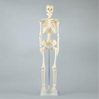 人体模型 全身 骨 人体骨格模型 85cm スタンド付 おもちゃ 観察 理科 夏休み 宿題 自由研究 学校教材 学習教材