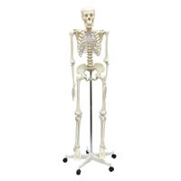 人体模型 全身 骨 160cm スタンド付 人体骨格模型 理科室 観察 学校教材 学習教材 おもちゃ 骨格標本 等身大 整骨院 クリスマスプレゼント