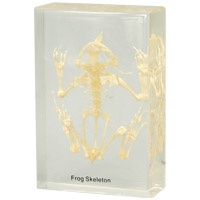 カエルの骨格標本 アーテック 標本 カエルの骨格 骨格 理科 科学 観察 小学生 学習 学校 クリスマスプレゼント