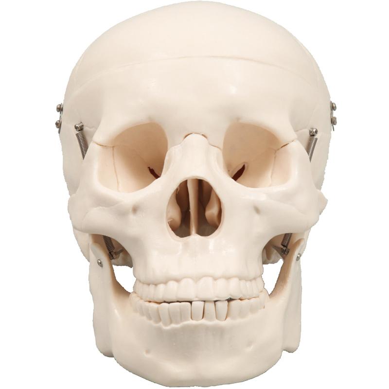 人体模型 頭蓋骨 模型 骨 人体骨格模型 実物大 理科 解剖 生物 学校 教材 理科室 備品 小学生 中学生 勉強 クリスマスプレゼント