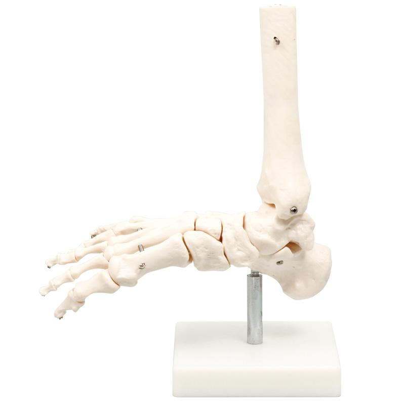 人体模型 足関節模型 模型 理科 解剖 生物 学校 教材 備品 小学生 中学生 勉強 クリスマスプレゼント
