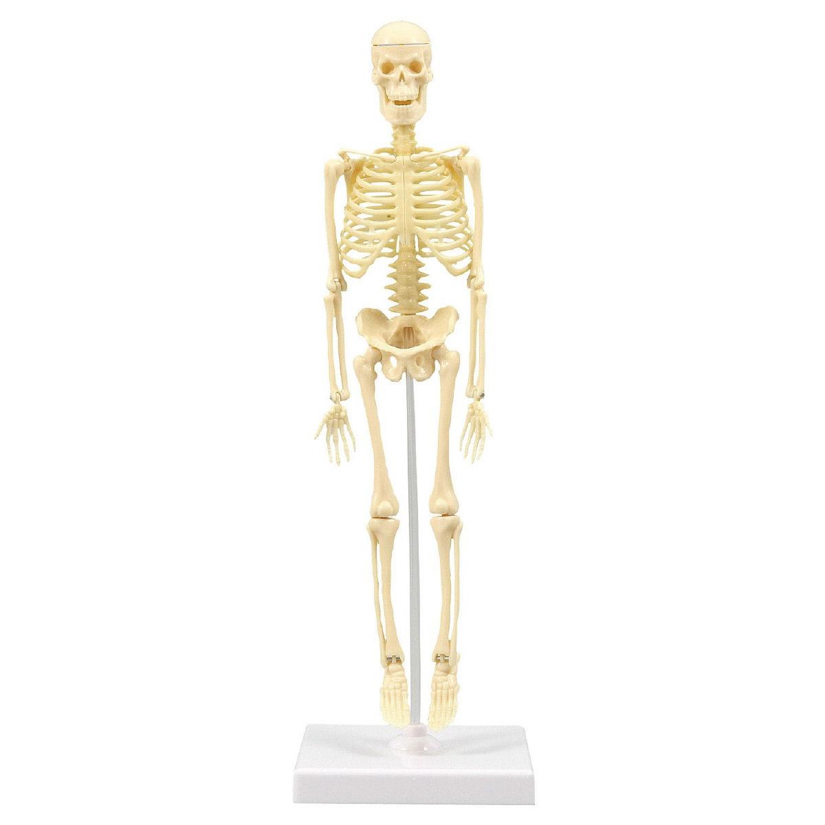 人体骨格模型 30cm 模型 からだ 理科 キッズ 小学生 学校 教材 備品 自由研究 知育玩具 クリスマスプレゼント