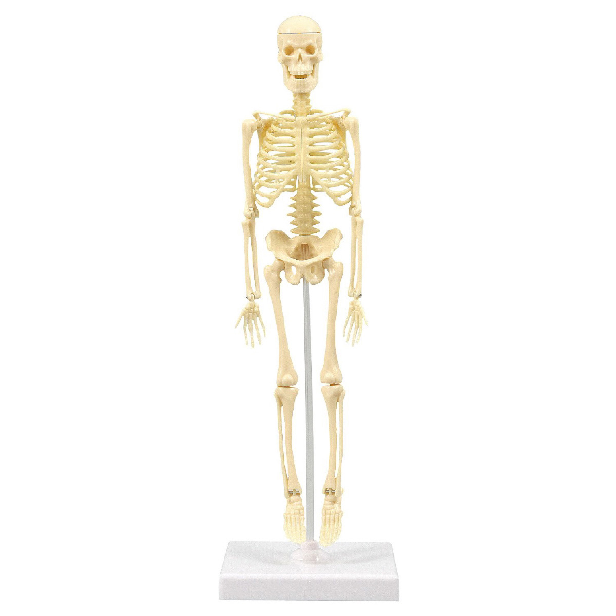 人体骨格模型 30cm 模型 からだ 理科 キッズ 小学生 学校 教材 備品 自由研究 知育玩具