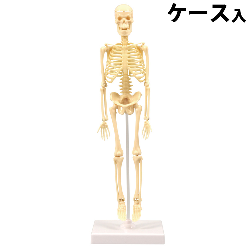 人体骨格模型 30cm 学習セット[ケース入] 模型 からだ 理科 キッズ 小学生 学校 教材 備品 自由研究 知育玩具 クリスマスプレゼント