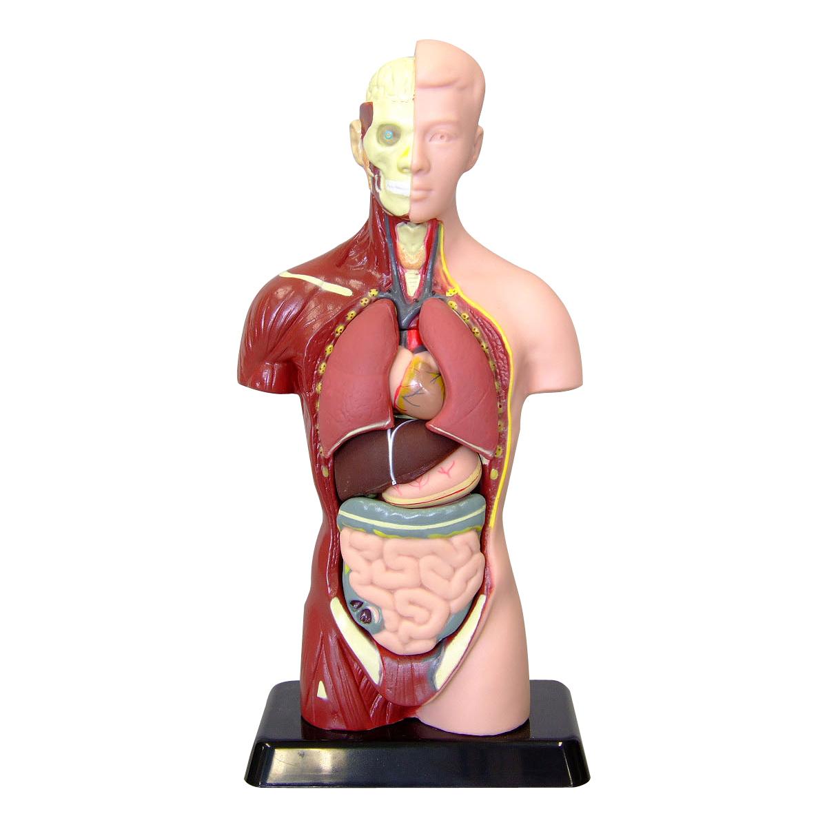 人体模型 27cm 筋肉 骨 内蔵 心臓 肺 胃 肝臓 腸 おもちゃ 人体モデル 全身 体の仕組み 理科 科学 教材 ミニ クリスマスプレゼント