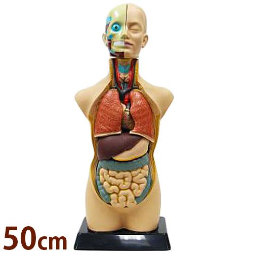 人体模型 全身 50cm 人体モデルキット ミニ おもちゃ 知育玩具 内蔵 頭部 脳 肺 心臓 ミニ 小学生 体の仕組み 理科 科学 学校教材 夏休み 自由研究 新日本通商